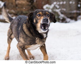 Barking enraged angry dog outdoors. The dog looks aggressive, dangerous and may be infected by rabies. Angry dog in the snow. Furious dog. Angry and aggressive dog showing teeth