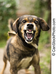 Aggressive, angry dog - Enraged aggressive, angry dog. Grin ...