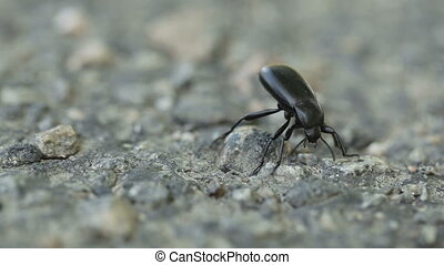 Aggressive beetle - Standing in front aggressive black...