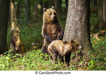Aggressive brown bear mother standing on rear legs and protecting its cub.