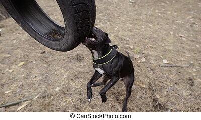 Aggressive dog. A dog nibbles on a car tire.