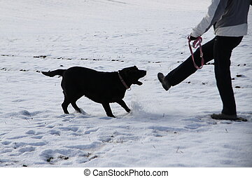 Aggressive black retriever on snow