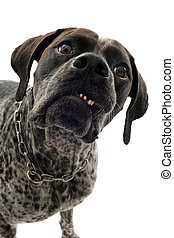 aggressive german shorthaired pointer in front of white background