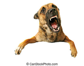 aggressive dog - portrait of a very angry purebred belgian...