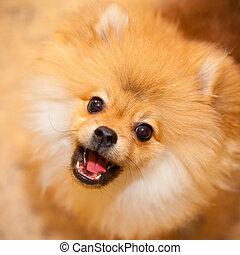 Aggressive dog spitz