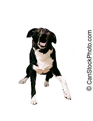 Aggressive Dog - An aggressive border collie dog showing her...