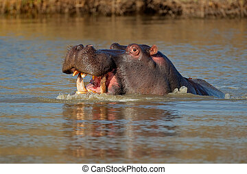 Aggressive hippopotamus - Aggressive Hippopotamus...
