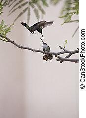 Aggressive hummingbird behavior 1