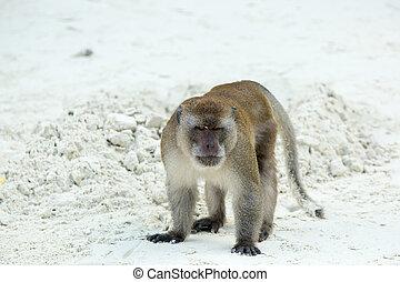 Aggressive Monkey beach. Crab-eating macaque at Phi-Phi,...