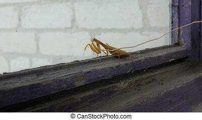 Aggressive pregnant female yellow mantis religiosa raises...
