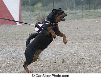 aggressive rottweiler - portrait of a purebred aggressive...