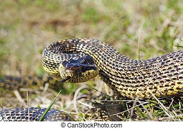 aggressivo, blotched, serpente