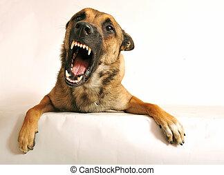 aggressivo, cane