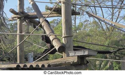 Agile black spider monkeys in Lisbon Zoo, Portugal
