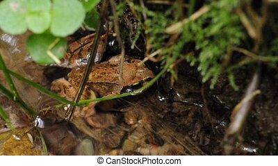agile frog Rana dalmatina