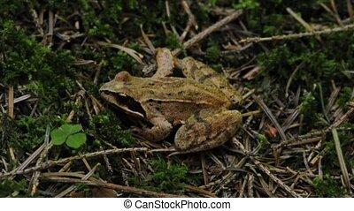 agile frog, Rana dalmatina - agile frog sitting in the green