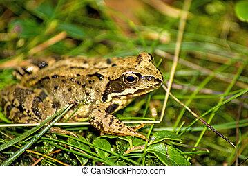agile frog, Rana dalmatina