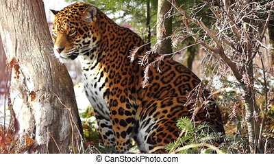 agile, jaguar