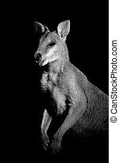 Agile Wallaby - Monochrome portrait of an Agile Wallaby...