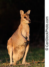 Agile Wallaby - Female Agile Wallaby (Macropus agilis),...