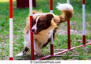 agilidade, cão, com, um, beira vermelha, collie
