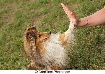 agilidade, cão