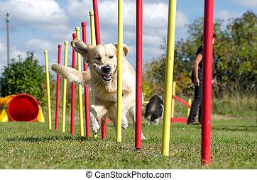 agilité, slalom, chien