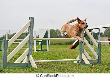 agility dog - australian cattle dog in a competition of...