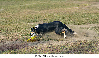 agility dog catches the plate