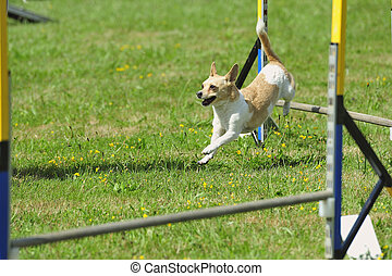 Agility dog competition