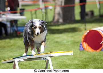 Agility Dog crossing Teeter Totter See Saw
