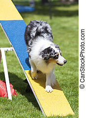 Agility Dog on See-Saw or Teeter Totter