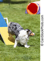 Agility Dog running off of see saw teeter totter