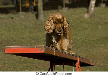 Agility - Dog skill competition. - American Cocker Spaniel,...
