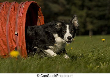 black border collie, which runs out of the tunnel