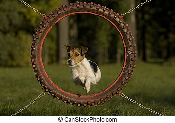 Dog, Parson Russell Terrier, who jumped through agility ring