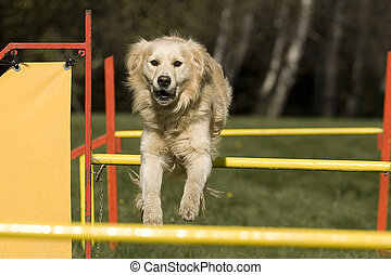 Agility - Dog skill competition. - golden retriever who...