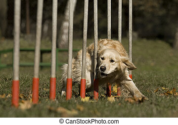 Agility - Dog skill competition. - Golden Retriever that...