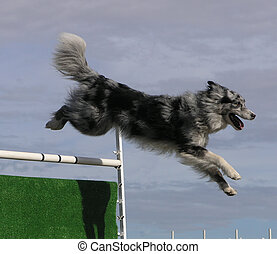 A dog clearing a jump during an agility competition