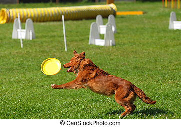 agility jumping dog competition, brow border collie