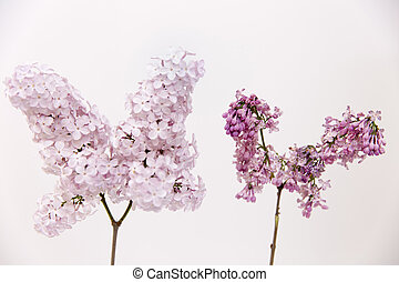 Aging concept. Fresh lilac branch vs faded, dry, wilted lilac branch