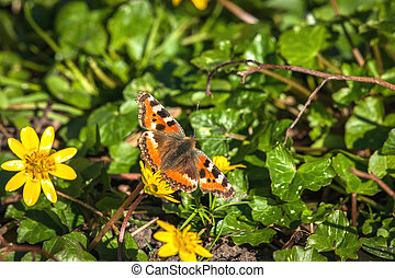 Aglais urticae butterfly in a garden