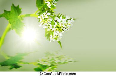 Selvatico pianta senape senape brassica sinapsis for Aglio pianta