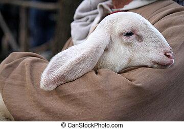agneau, à, berger