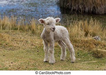 agneau bébé, debout