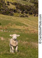 agneau bébé, debout, pâturage