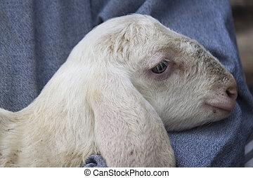 agneau, berger