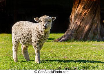 agneau, champ, arrière-plan noir, portrait