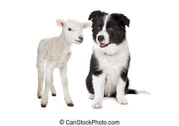 agneau, chiot, colley, frontière