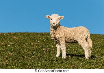 agneau, curieux, ciel bleu, contre